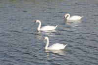 印西水の郷 白鳥①.jpg