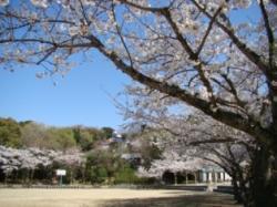 sakura-higashihirao2.JPG