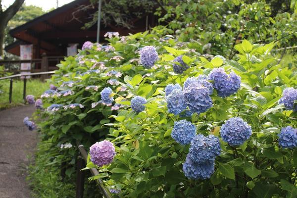 しばた紫陽花まつり.JPG